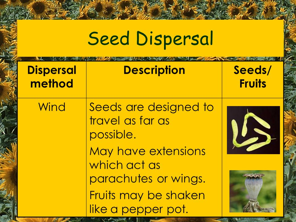 Seed Dispersal Dispersal method Description Seeds/ Fruits Wind