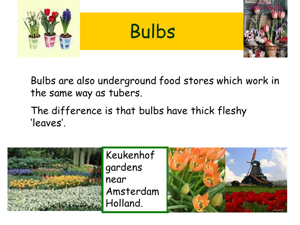 Bulbs Bulbs are also underground food stores which work in the same way as tubers. The difference is that bulbs have thick fleshy 'leaves'.