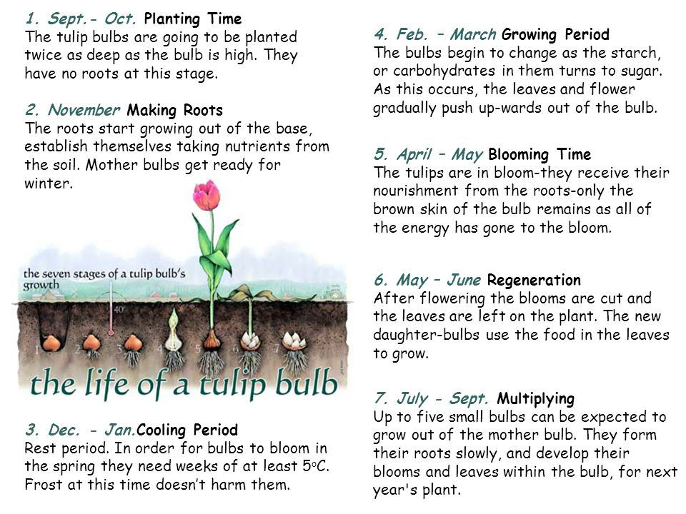 1. Sept.- Oct. Planting Time The tulip bulbs are going to be planted twice as deep as the bulb is high. They have no roots at this stage.