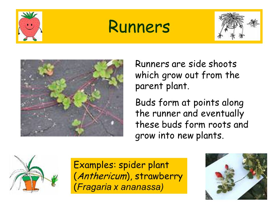 Runners Runners are side shoots which grow out from the parent plant.
