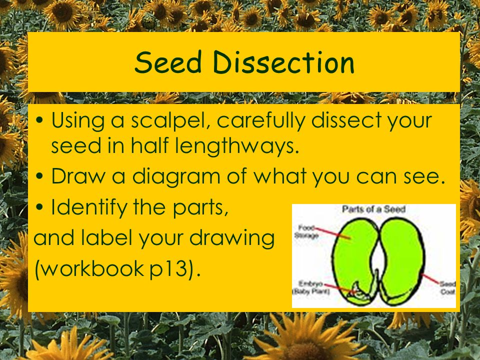 Seed Dissection Using a scalpel, carefully dissect your seed in half lengthways. Draw a diagram of what you can see.