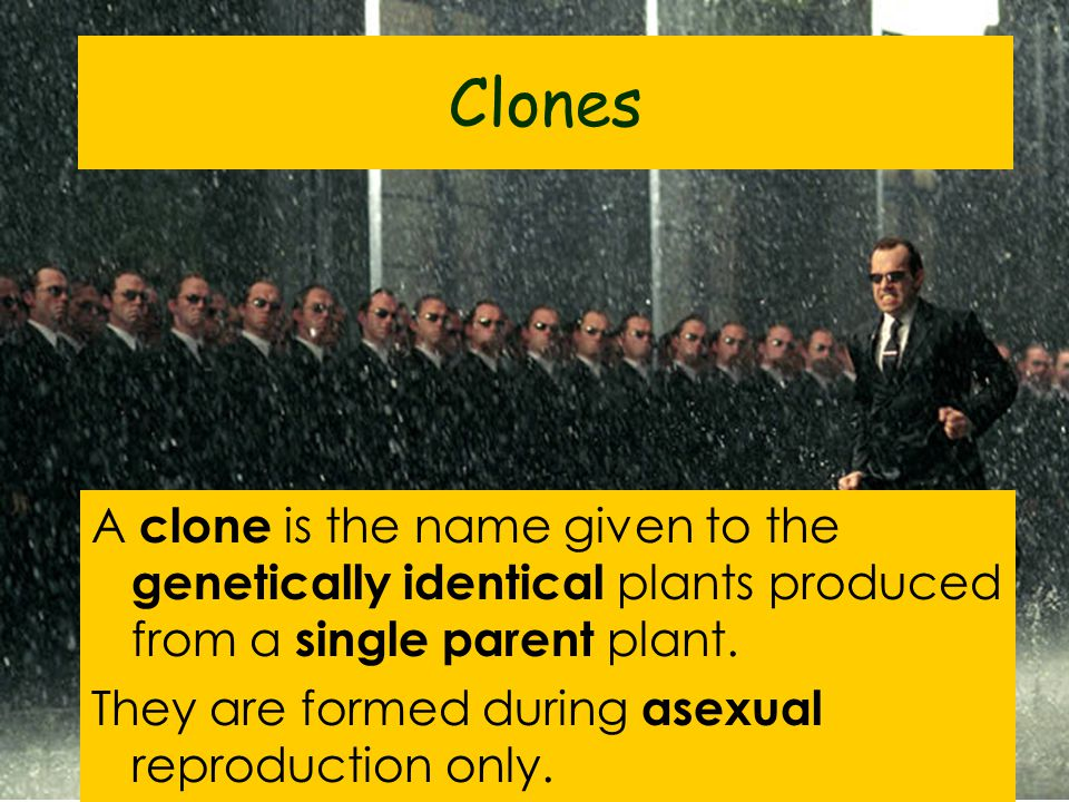 Clones A clone is the name given to the genetically identical plants produced from a single parent plant.