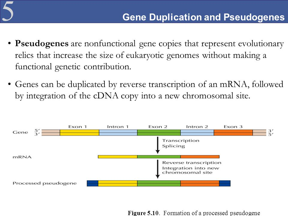 Gene Duplication and Pseudogenes