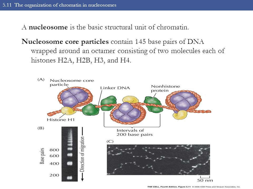 5.11 The organization of chromatin in nucleosomes