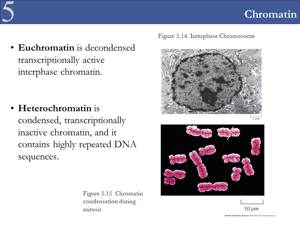 Chromatin Figure 5.14. Interphase Chromosome. Euchromatin is decondensed transcriptionally active interphase chromatin.