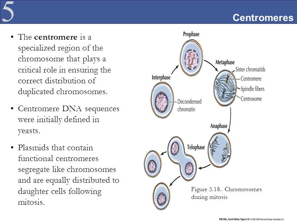 Centromeres
