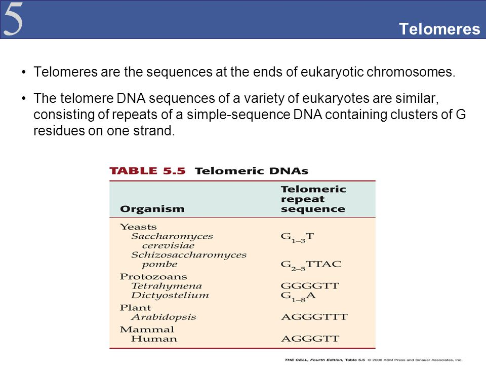 Telomeres Telomeres are the sequences at the ends of eukaryotic chromosomes.