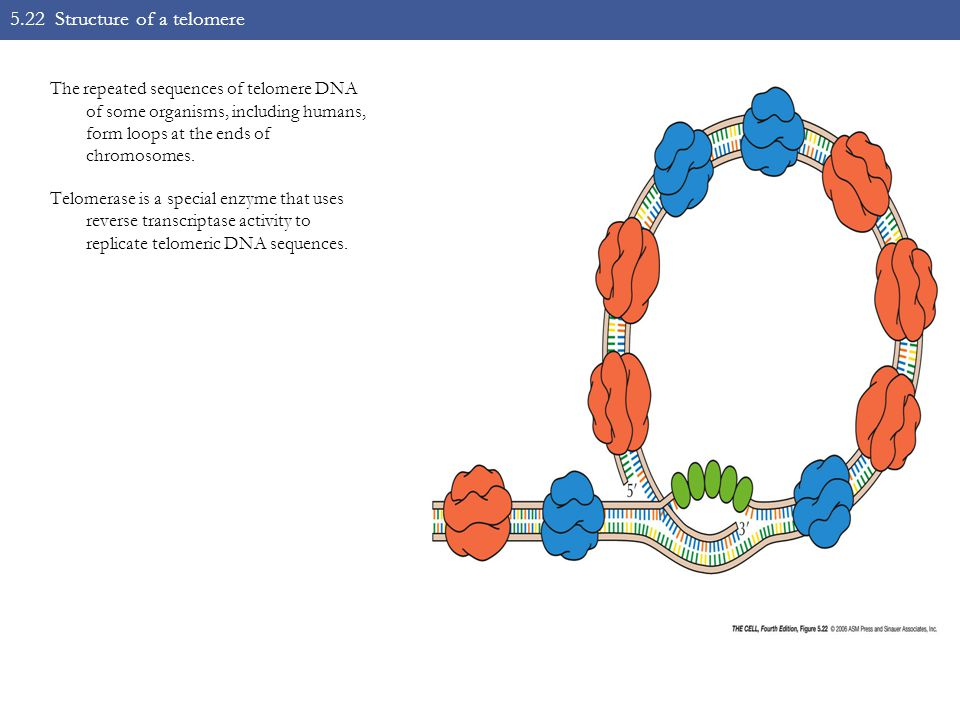 5.22 Structure of a telomere