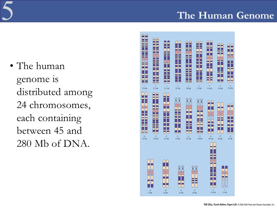 The Human Genome The human genome is distributed among 24 chromosomes, each containing between 45 and 280 Mb of DNA.