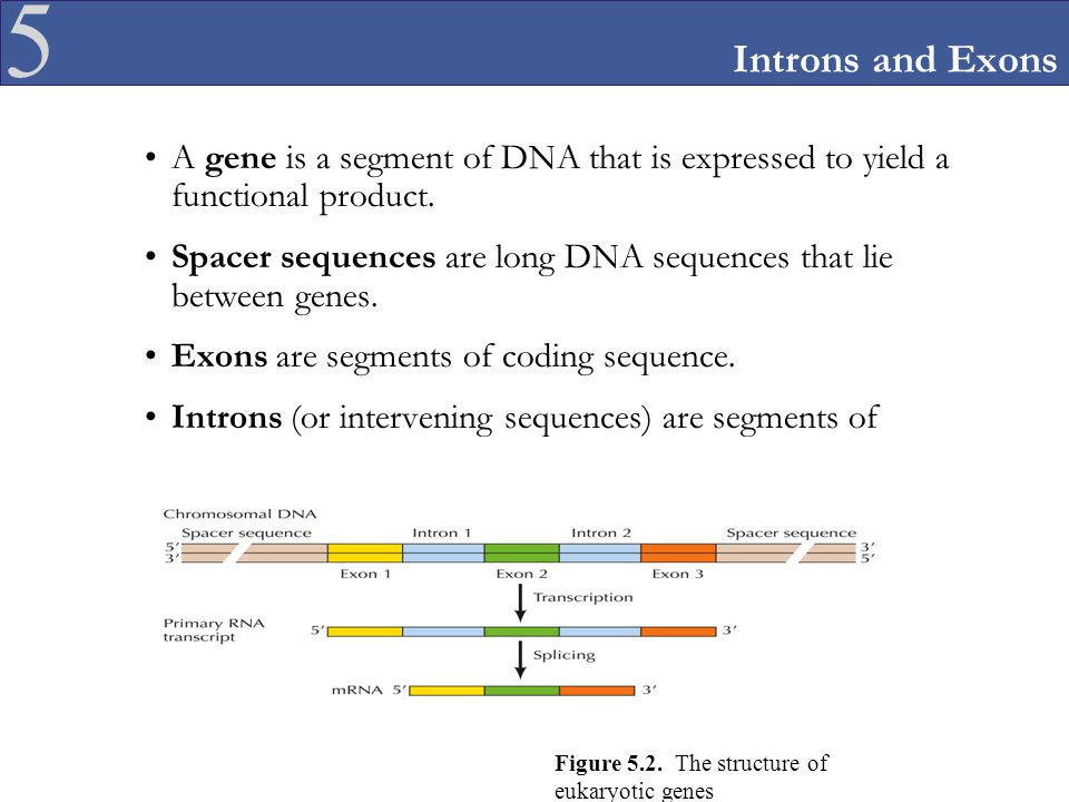 Introns and Exons A gene is a segment of DNA that is expressed to yield a functional product.