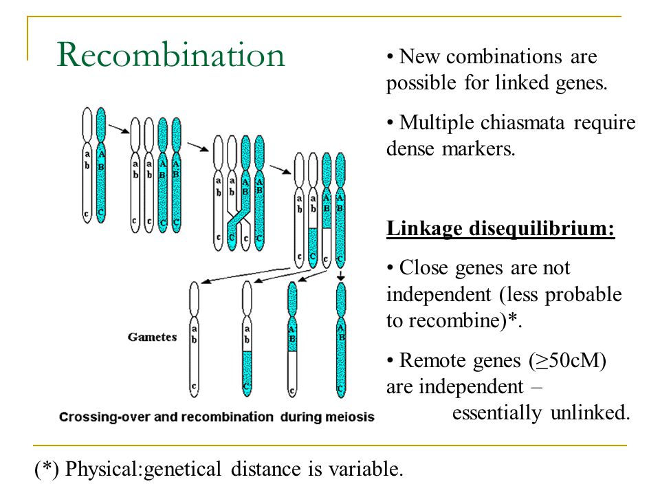 Recombination New combinations are possible for linked genes.