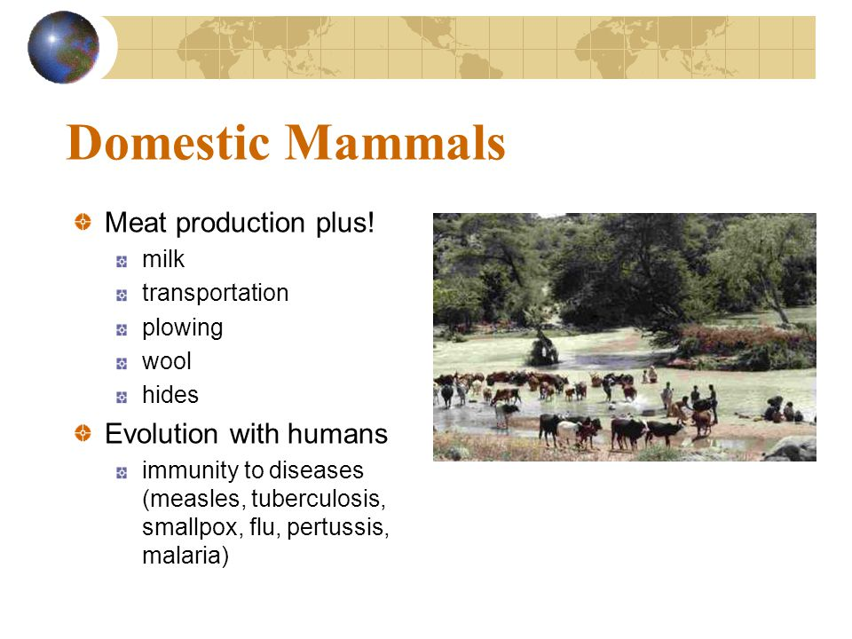 Domestic Mammals Meat production plus! Evolution with humans milk