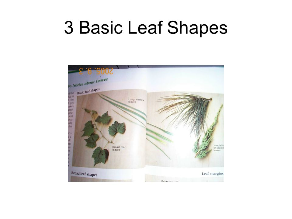 3 Basic Leaf Shapes