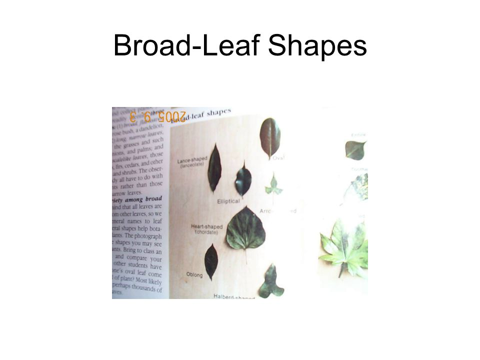 Broad-Leaf Shapes