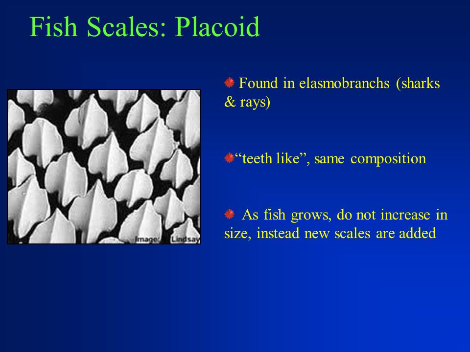 Fish Scales: Placoid Found in elasmobranchs (sharks & rays)