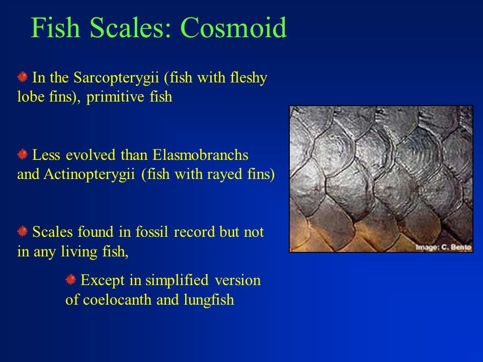Fish Scales: Cosmoid In the Sarcopterygii (fish with fleshy lobe fins), primitive fish.