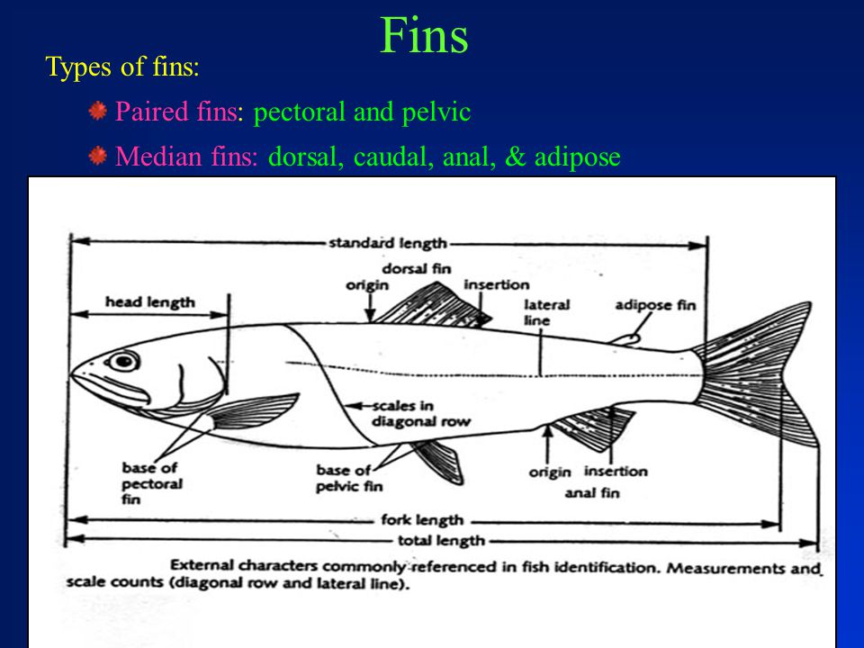 Fins Types of fins: Paired fins: pectoral and pelvic