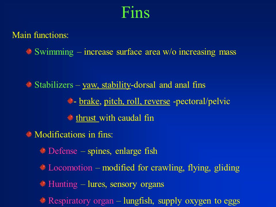 Fins Main functions: Swimming – increase surface area w/o increasing mass. Stabilizers – yaw, stability-dorsal and anal fins.