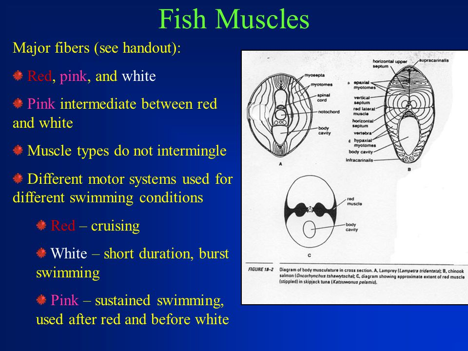 Fish Muscles Major fibers (see handout): Red, pink, and white