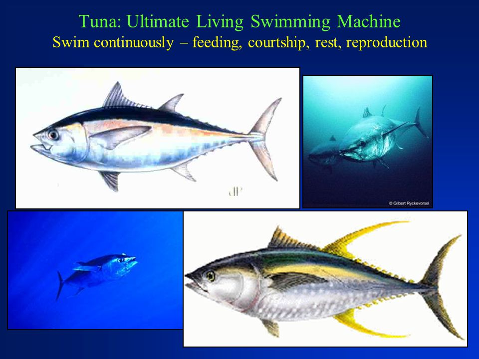 Tuna: Ultimate Living Swimming Machine Swim continuously – feeding, courtship, rest, reproduction