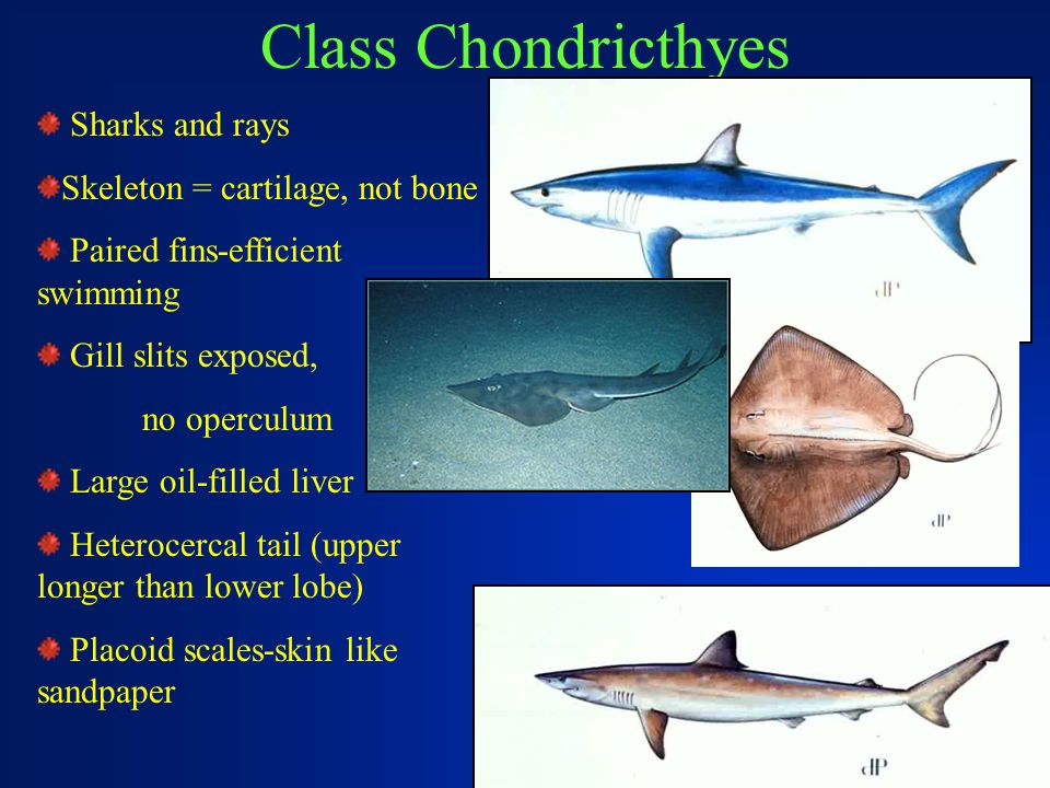 Class Chondricthyes Sharks and rays Skeleton = cartilage, not bone