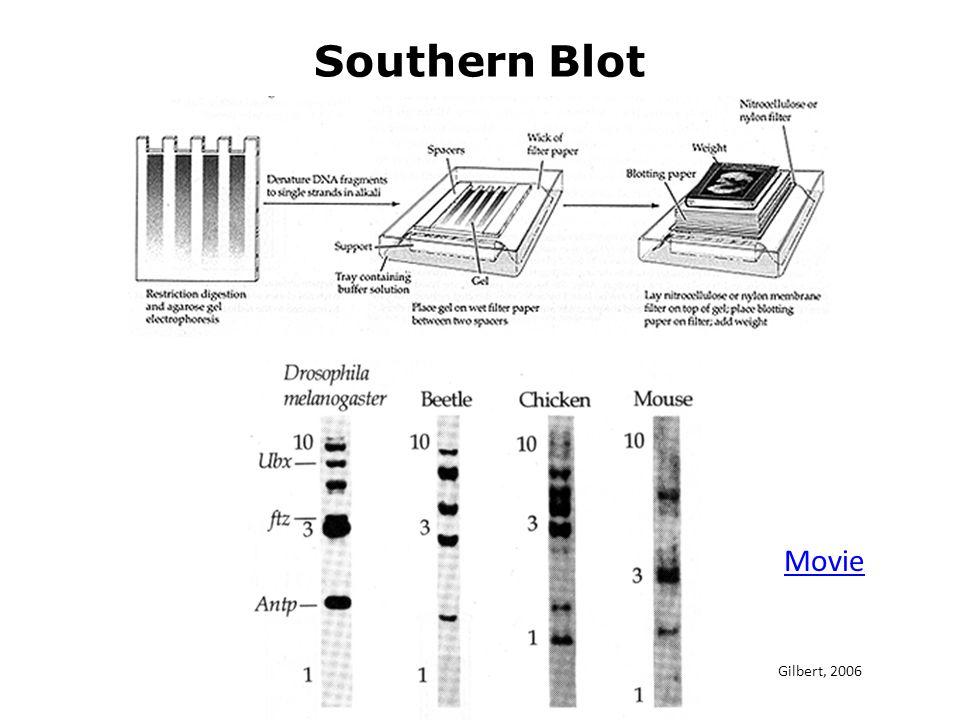 Southern Blot Movie Gilbert, 2006