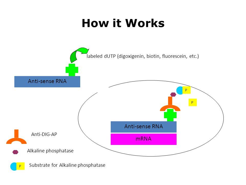 How it Works Anti-sense RNA mRNA