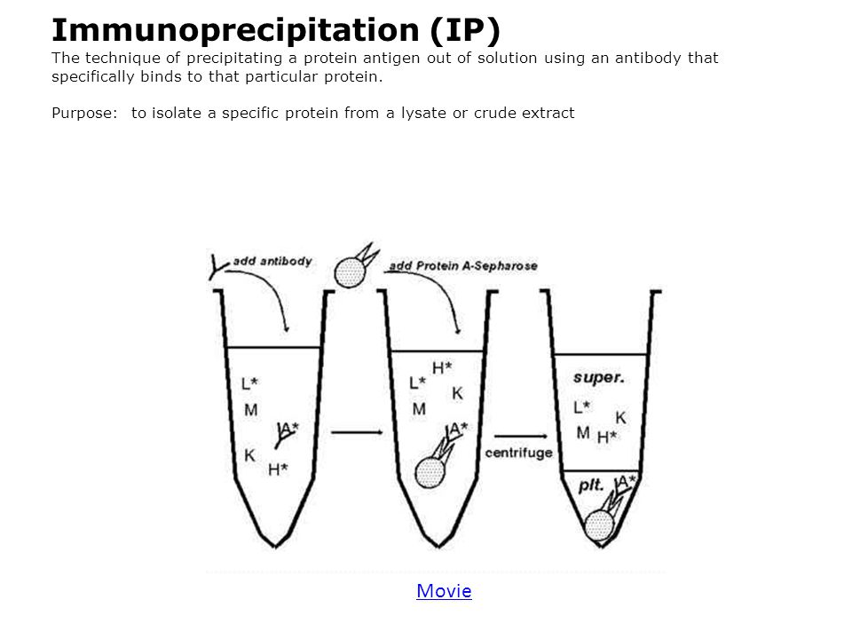 Immunoprecipitation (IP) The technique of precipitating a protein antigen out of solution using an antibody that specifically binds to that particular protein. Purpose: to isolate a specific protein from a lysate or crude extract