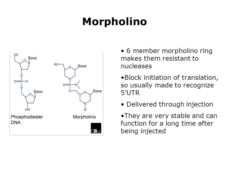 Morpholino 6 member morpholino ring makes them resistant to nucleases