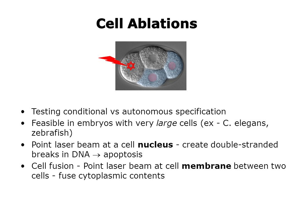 Cell Ablations  Testing conditional vs autonomous specification