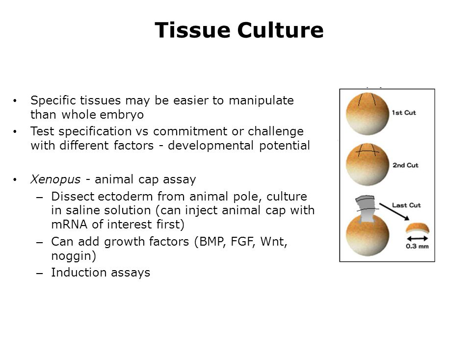 Tissue Culture Specific tissues may be easier to manipulate than whole embryo.