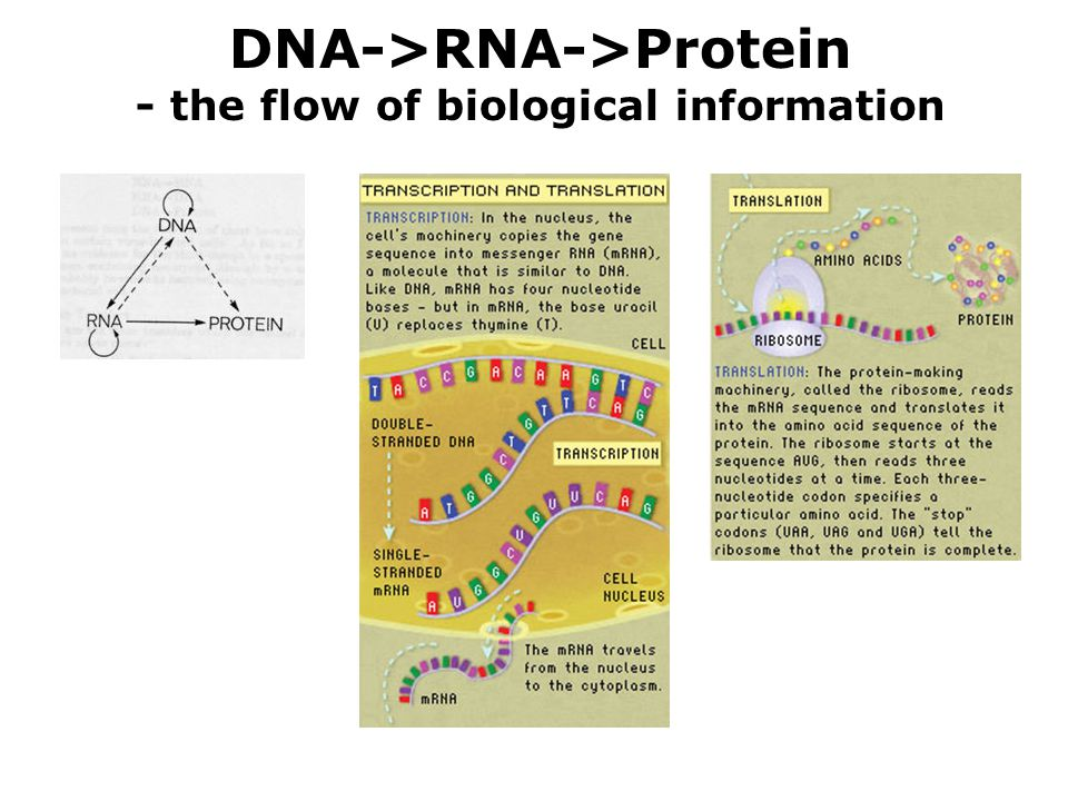 DNA->RNA->Protein - the flow of biological information