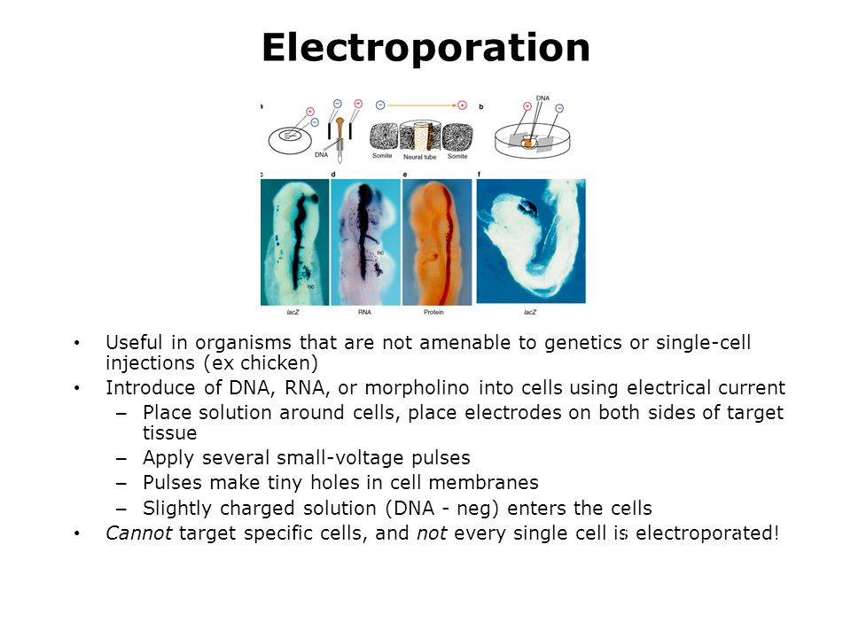 Electroporation Useful in organisms that are not amenable to genetics or single-cell injections (ex chicken)