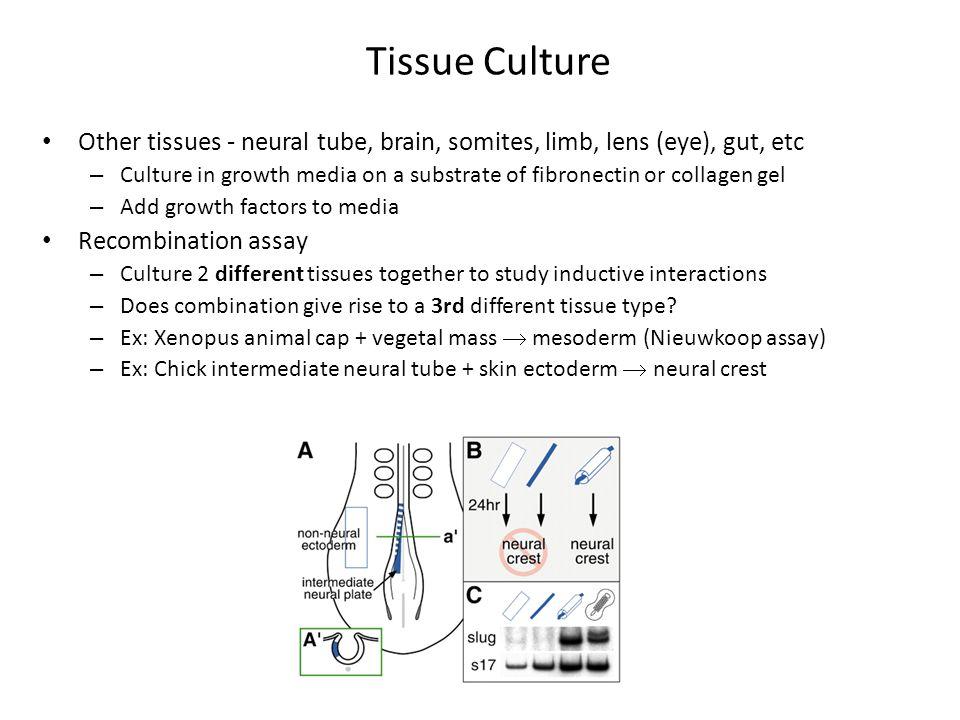 Tissue Culture Other tissues - neural tube, brain, somites, limb, lens (eye), gut, etc.