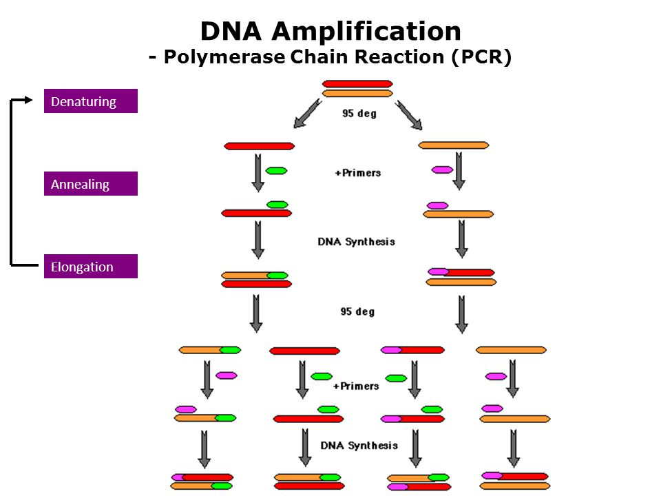 DNA Amplification - Polymerase Chain Reaction (PCR)