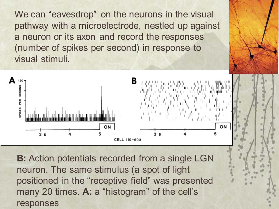 We can eavesdrop on the neurons in the visual pathway with a microelectrode, nestled up against a neuron or its axon and record the responses (number of spikes per second) in response to visual stimuli.