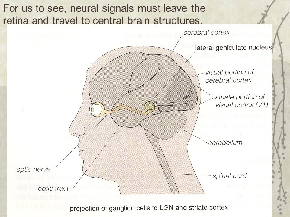 For us to see, neural signals must leave the retina and travel to central brain structures.