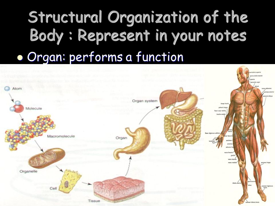 Structural Organization of the Body : Represent in your notes