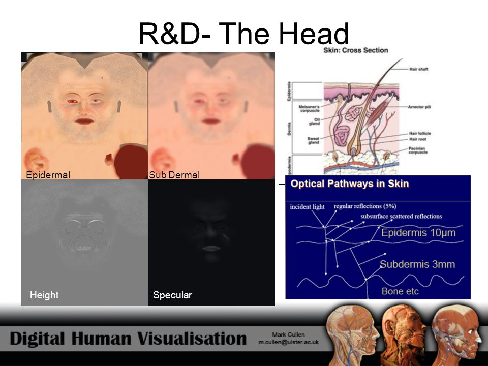 R&D- The Head Epidermal Sub Dermal Height Specular