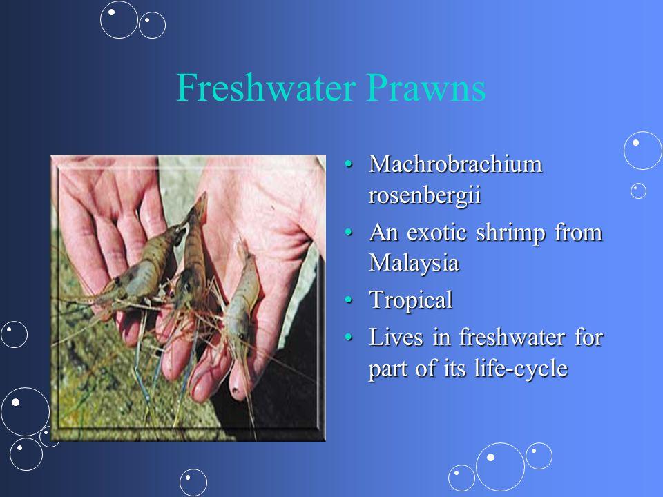 Freshwater Prawns Machrobrachium rosenbergii