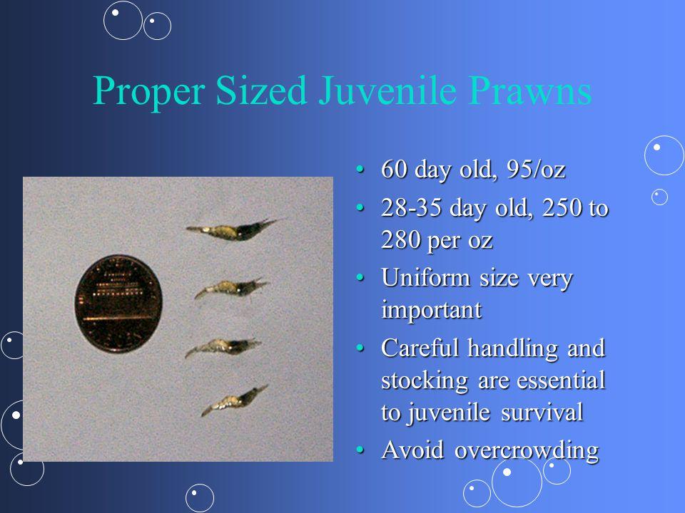 Proper Sized Juvenile Prawns