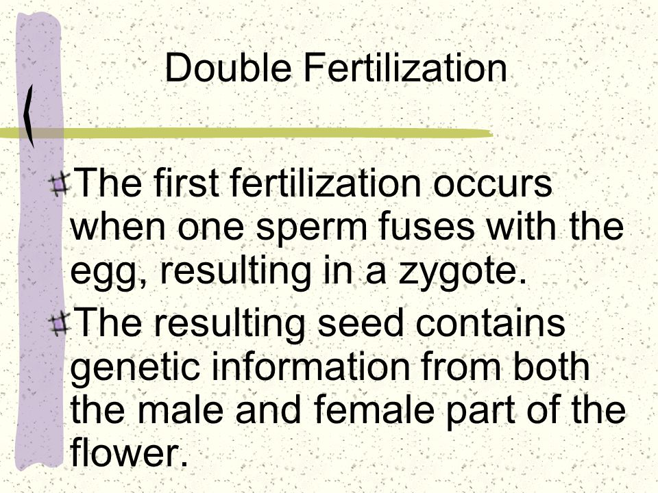 Double Fertilization The first fertilization occurs when one sperm fuses with the egg, resulting in a zygote.