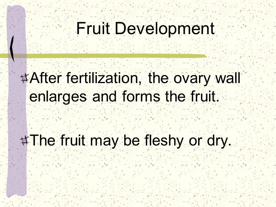 Fruit Development After fertilization, the ovary wall enlarges and forms the fruit.