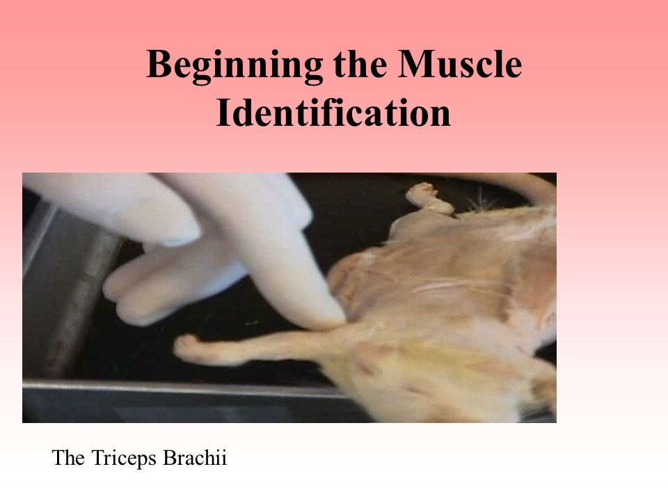 Beginning the Muscle Identification