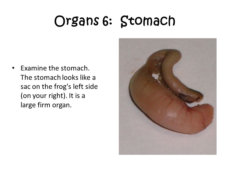Organs 6: Stomach Examine the stomach.