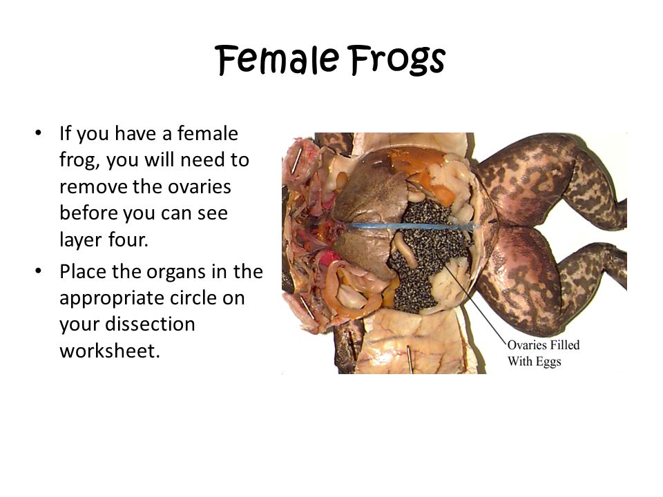 Female Frogs If you have a female frog, you will need to remove the ovaries before you can see layer four.