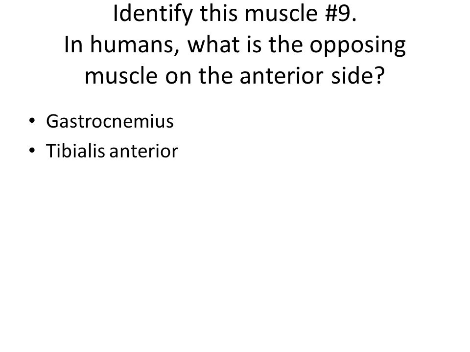 Identify this muscle #9. In humans, what is the opposing muscle on the anterior side