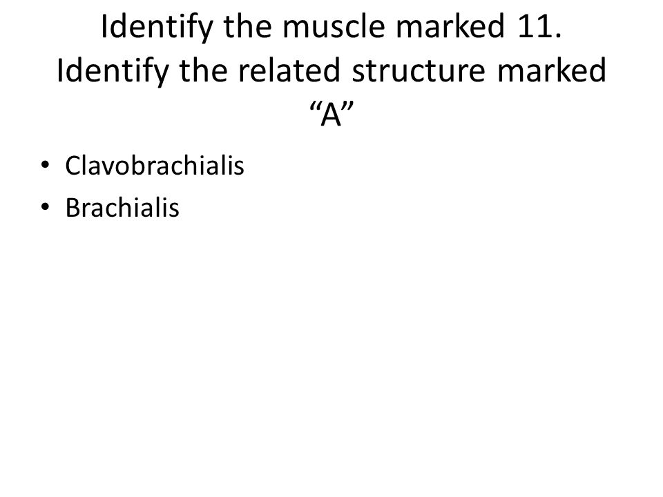 Identify the muscle marked 11