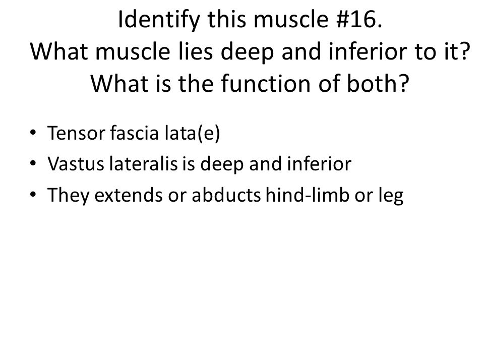 Identify this muscle #16. What muscle lies deep and inferior to it
