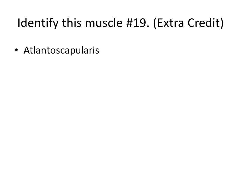 Identify this muscle #19. (Extra Credit)